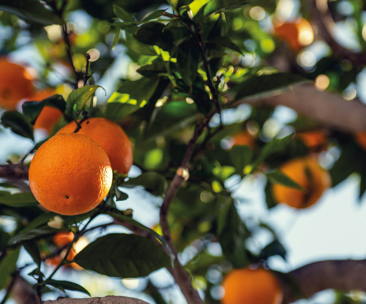 Image of an orange tree in the Spanish sunshine