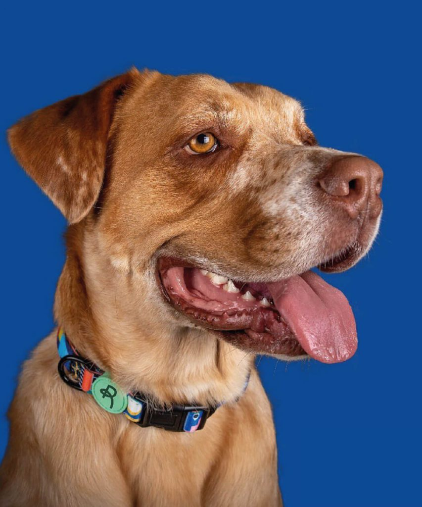 Dog wearing branded Rocker dog collar